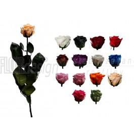 Růže volná