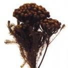 Stabilizovaná tráva Brunia Albiflora