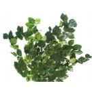 Fagus Zelená