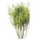 Stabilizovaná tráva Stoebe